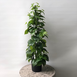 Philodenron Tree 90cm