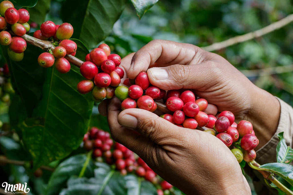 Maui coffee berries