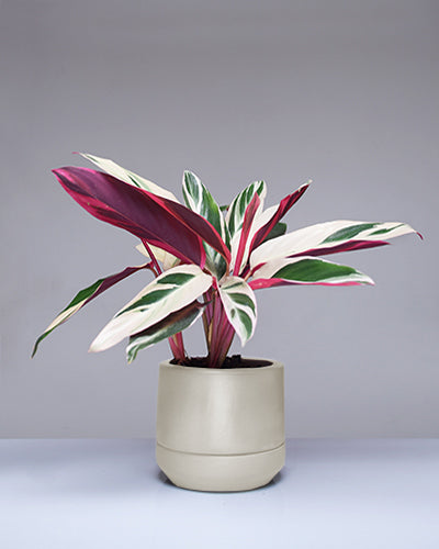 "Stromanthe ""Tri-Color"""