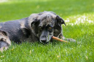 Why are bully sticks such a great treat for dogs?