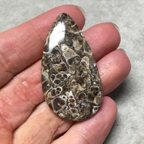 "OOAK Natural Turitella Fossil Pear/Teardrop Shape Flat Back Cabochon ""4"" - Measuring 27mm x 48mm, 5mm Dome Height - Natural Quality Gemstone"