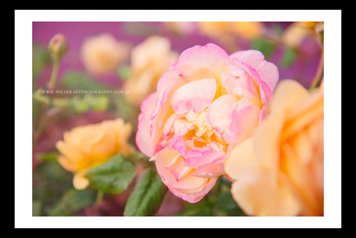 Floral - Sedona Roses