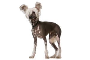 Foresight Health® Chinese Crested