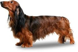Foresight Health® Miniature Long Haired Dachshund