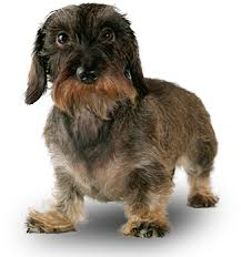 Foresight Health® Miniature Wire-Haired Dachshund