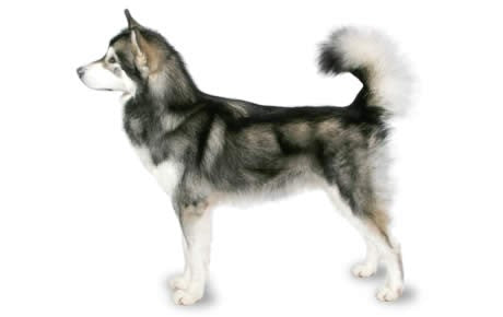 Foresight Health® Alaskan Malamute