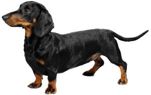 Foresight Health® Miniature Short-Haired Dachshund