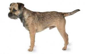 Foresight Health® Border Terrier
