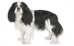 Foresight Health® Cavalier King Charles Spaniel