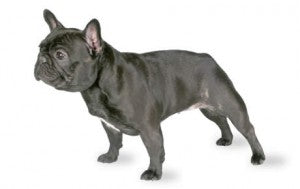 Foresight Health® French Bulldog