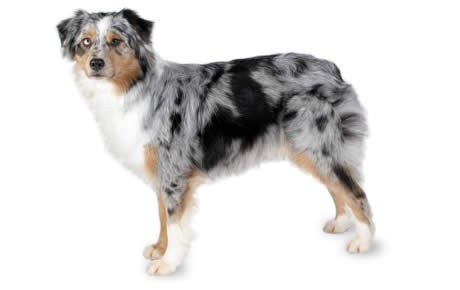 Foresight Health® Australian Shepherd