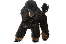 Foresight Health® Miniature Poodle