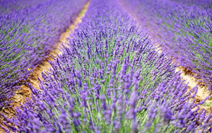 All About Lavendar