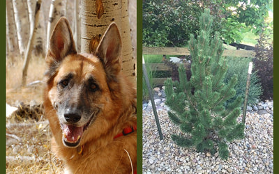 Testimonial: An Evergreen Memorial for Heidi
