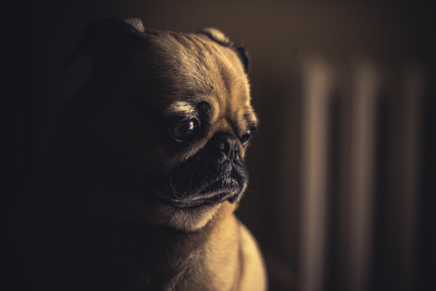 Pug dog looking sad.