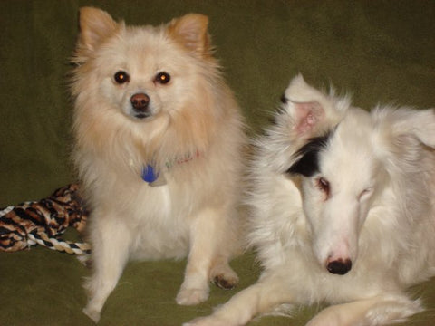 Dutchess, a black and white, blind and deaf dog, sits next to a small tan dog.
