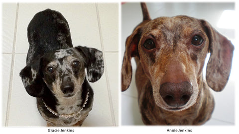 Gracie & Annie, two dachshund dogs who were Bob and Annette Jenkins's pets.