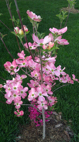 Dogwood tree planted using the cremated remains of a dog mixed with Let Your Love Grow.