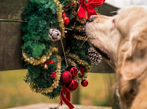 Golden retriever sniffing holiday wreath.