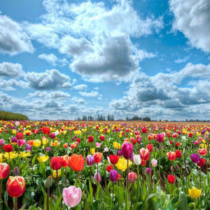 Tulpen Veld | Diamond Painting