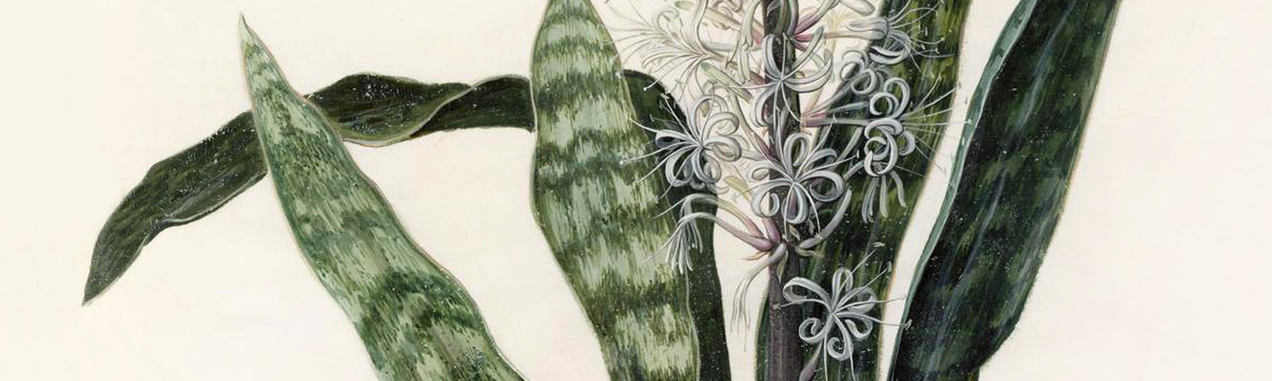 Vintage botanical paintings and illustrations from Attica Press