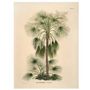 Vintage palm tree print livistona sand palm