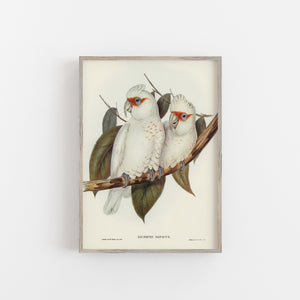 White cockatoo vintage print framed