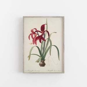 Amaryllis flower botanical art print