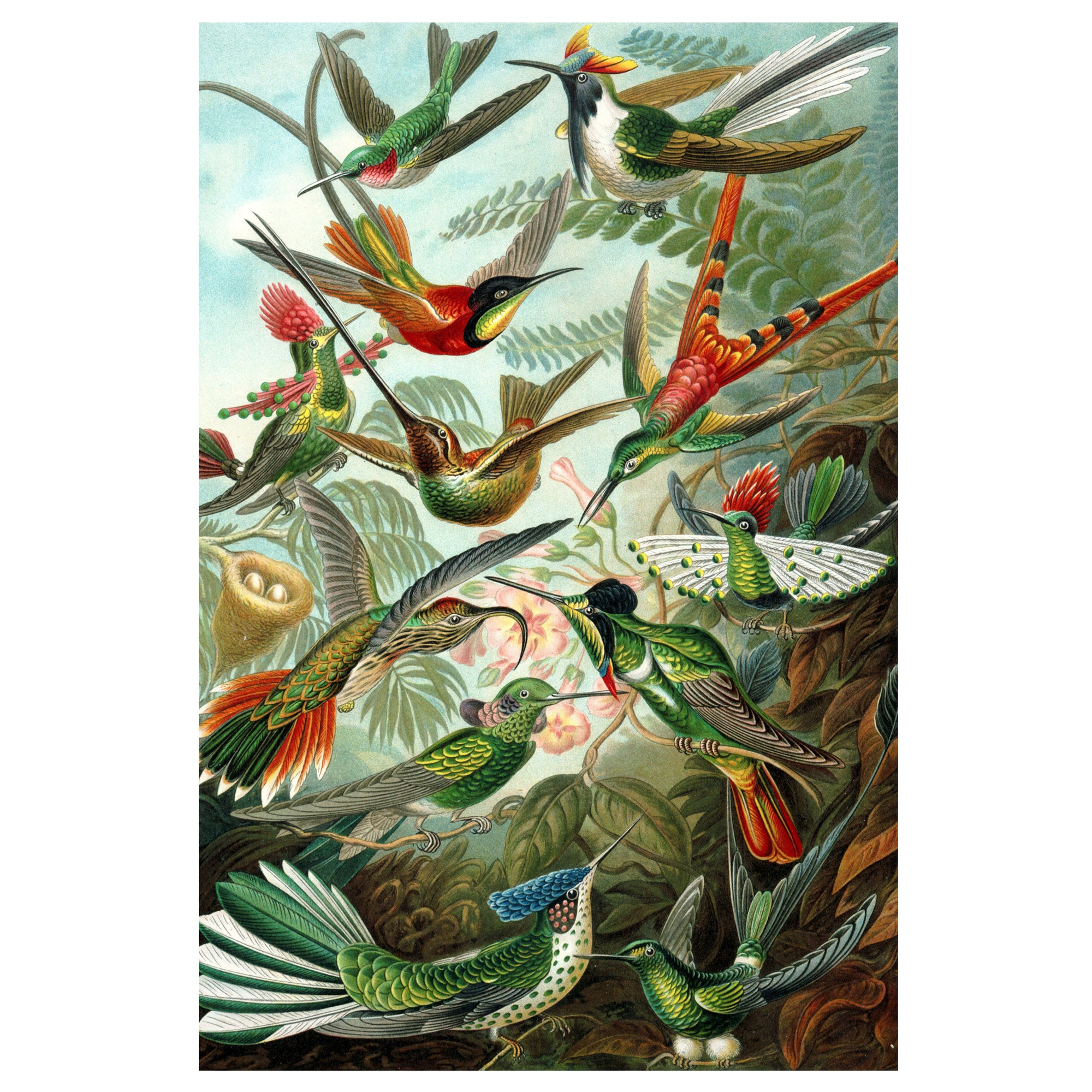Hummingbirds - Ernst Haeckel