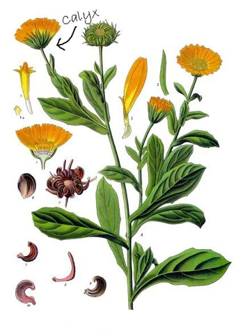 CALENDULA ILLUSTRATION SHOWING CALYX