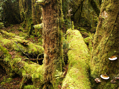 TASSIE RAINFORESTS GROW SOME AWESOME, ANCIENT TREES