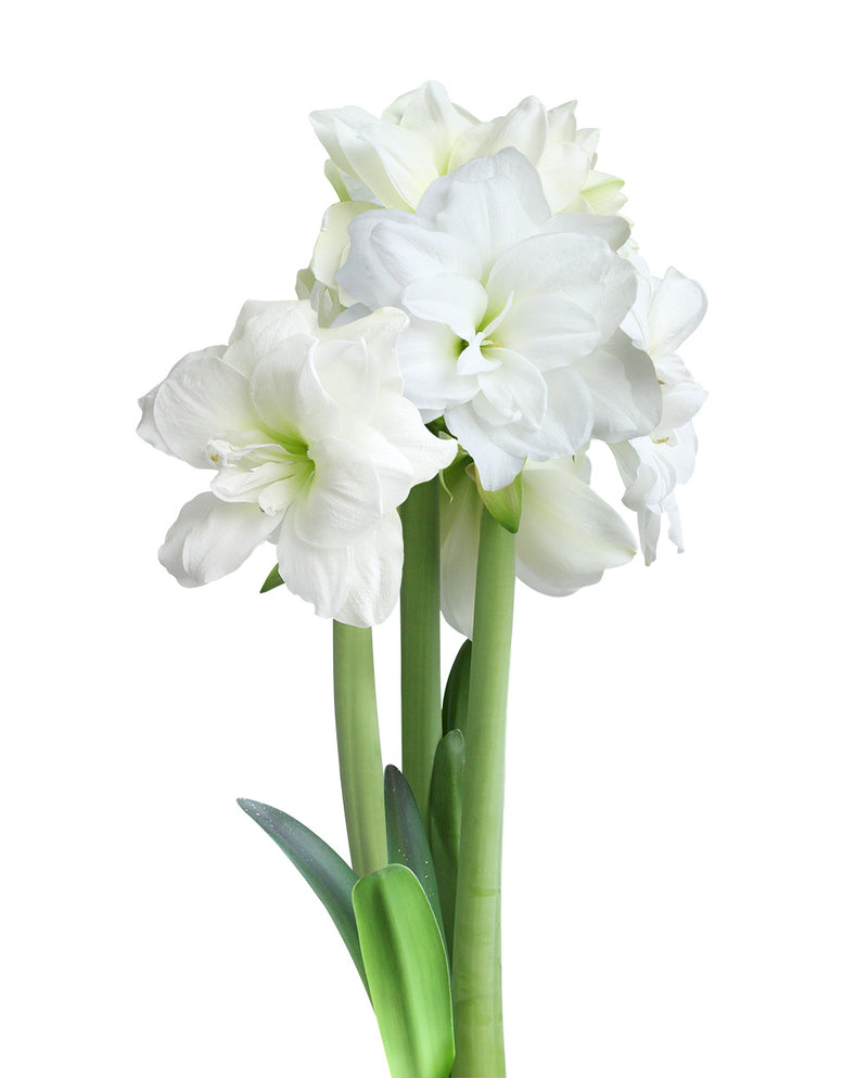 Alfresco Mini Amaryllis -26-28 cm - 3 bulbs