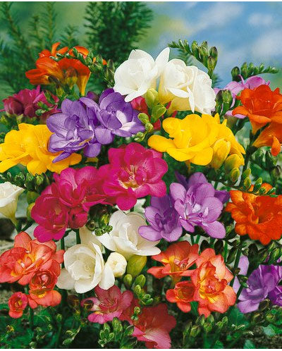 Mixed Double Freesia - 25 bulbs