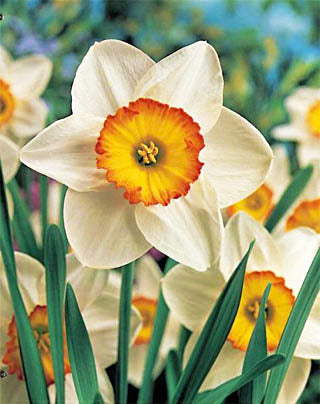 Flower Record Large Cup Daffodil - 10 bulbs
