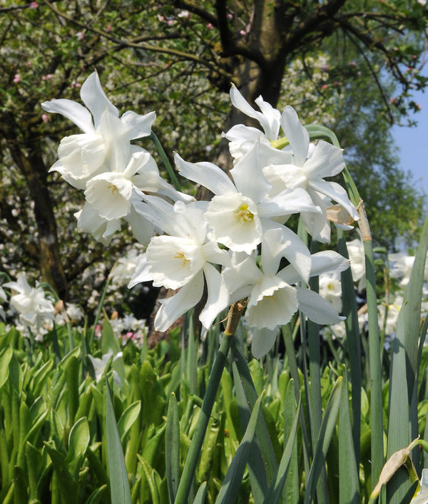 White Thalia Triandrus Daffodil - 10 bulbs
