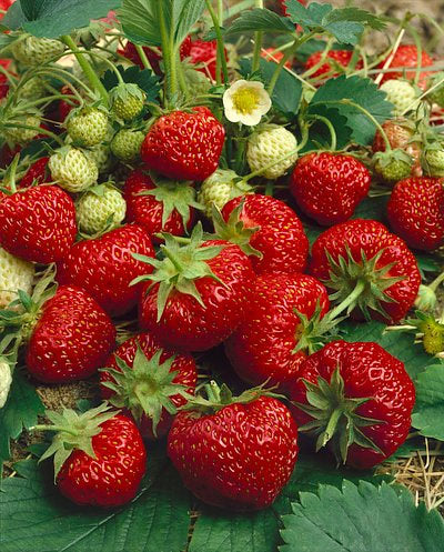 Ft. Laramie Everbearer Strawberry - 10 root divisions