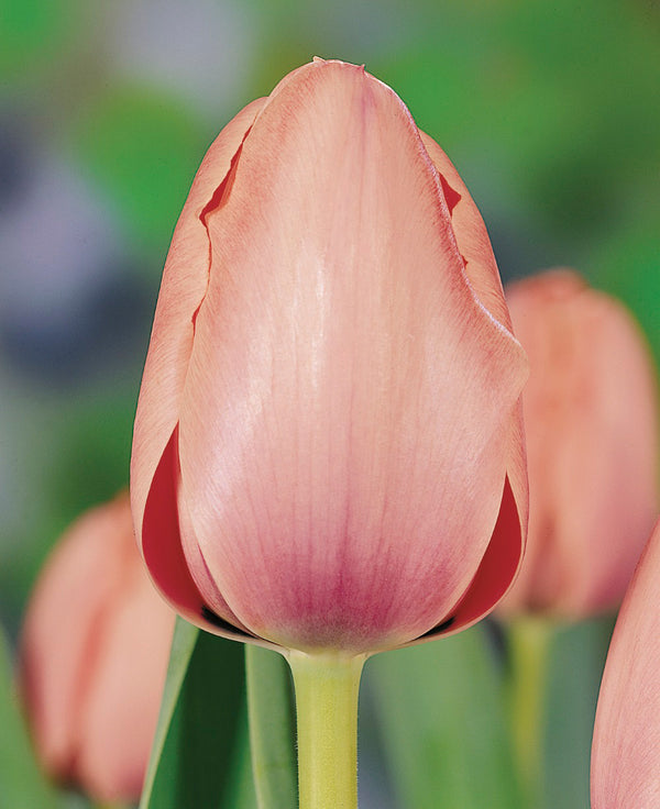 Salmon Impression Darwin Hybrid Tulip - 10 bulbs