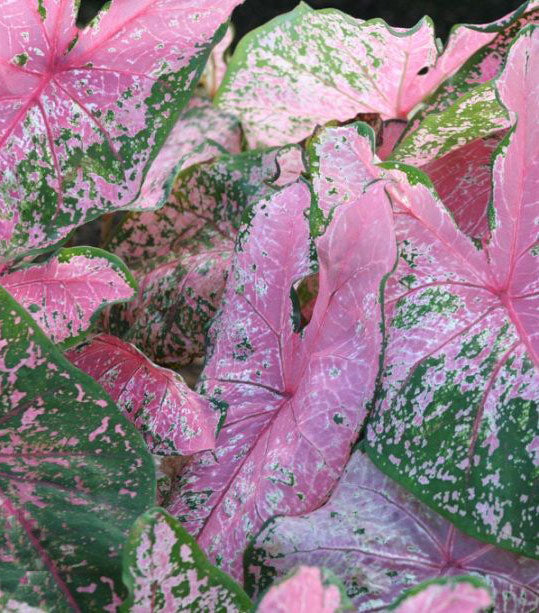 Pink Beauty Fancy Leaved Caladium - 3 tubers