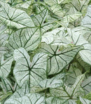 Candidum Fancy Leaved Caladium - 3 tubers