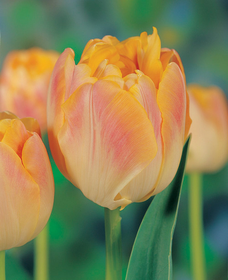 Creme Upstar Double Late Tulip - 10 bulbs