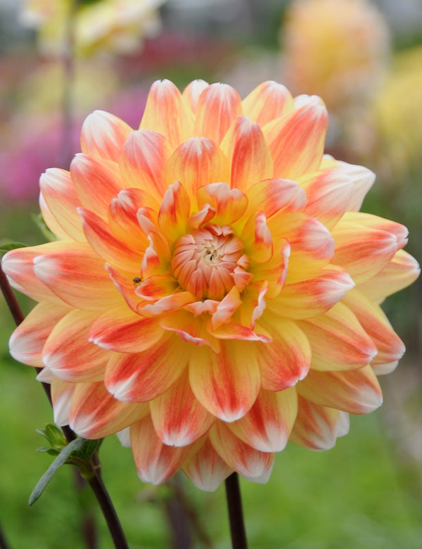 Peaches and Cream Decorative Dahlia - 3 root divisions