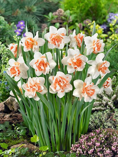 Replete Double Daffodil - 10 bulbs