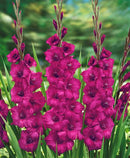 Plum Tart Gladiolus - 5 bulbs