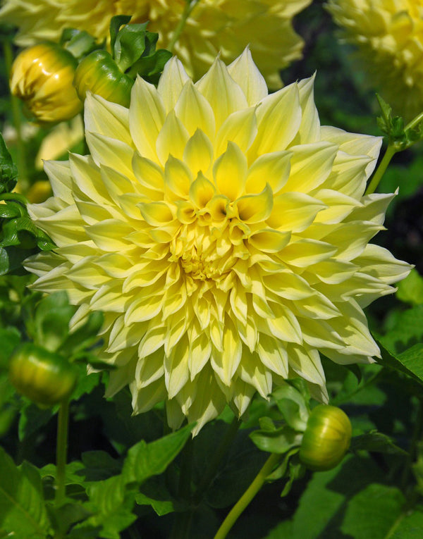 Kelvin Floodlight Decorative Dahlia - 3 root divisions