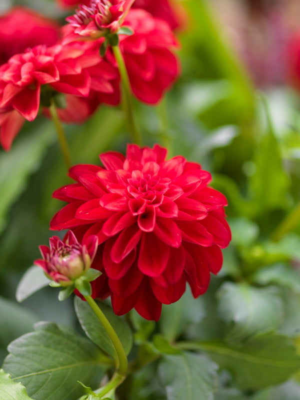Garden Wonder Decorative Dahlia - 3 root divisions