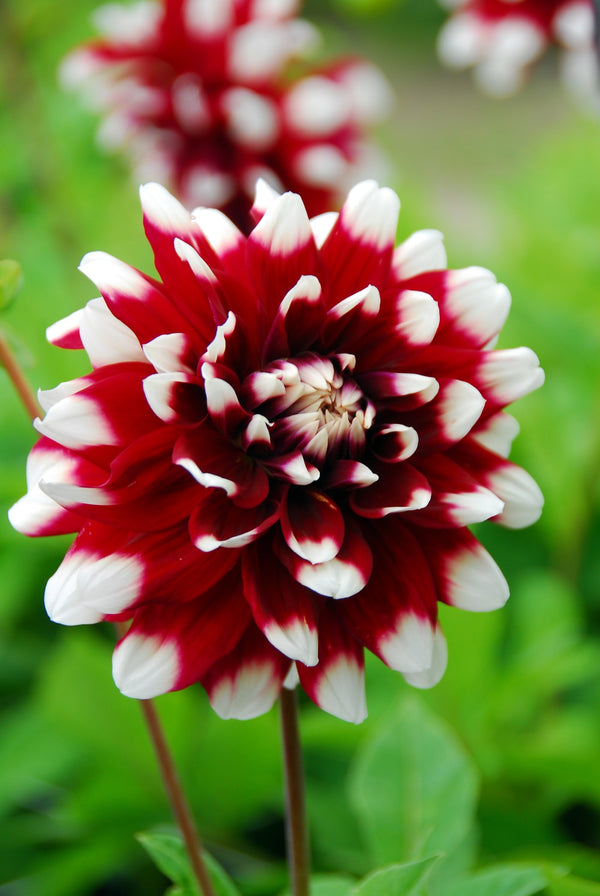 Duet Decorative Dahlia - 3 root divisions