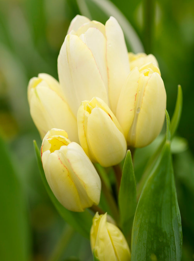 Candy Club Multiflowering Tulip - 10 bulbs
