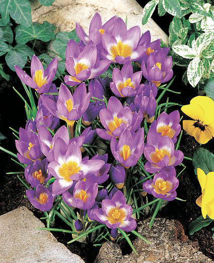 Tri-Color Species Crocus - 10 bulbs