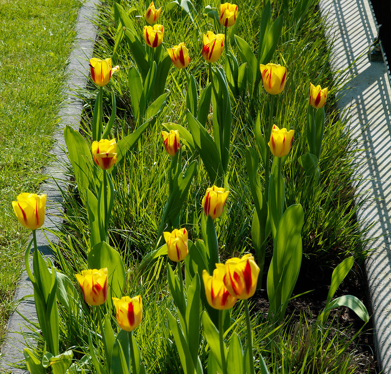 La Courtine Single Late Tulip - 10 bulbs