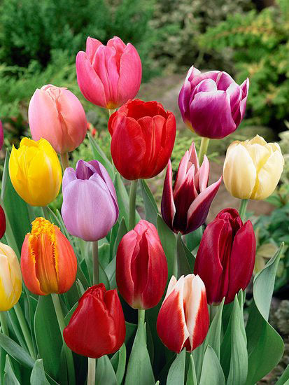 Mixed Tulips - 50 bulbs